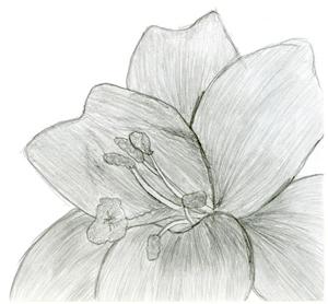 tipps zu bleistiftzeichnungen katze hibiskus blume. Black Bedroom Furniture Sets. Home Design Ideas